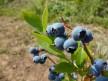 Черна боровинка лист